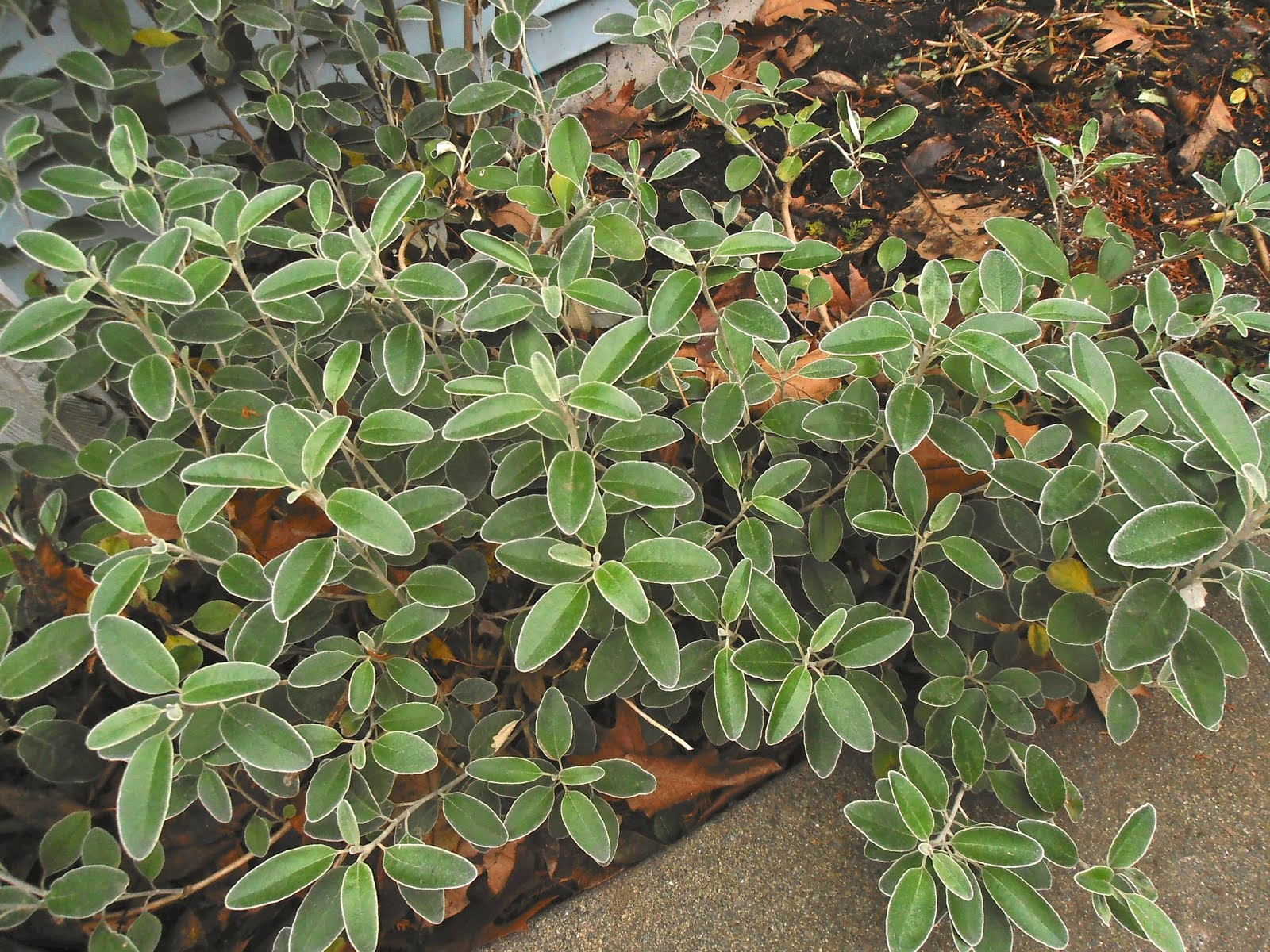 Winter plants for the pacific northwest that bloomin garden it hasnt flowered for me although it is supposed to have yellow daisy like flowers i love this shrub for its gray leaves izmirmasajfo