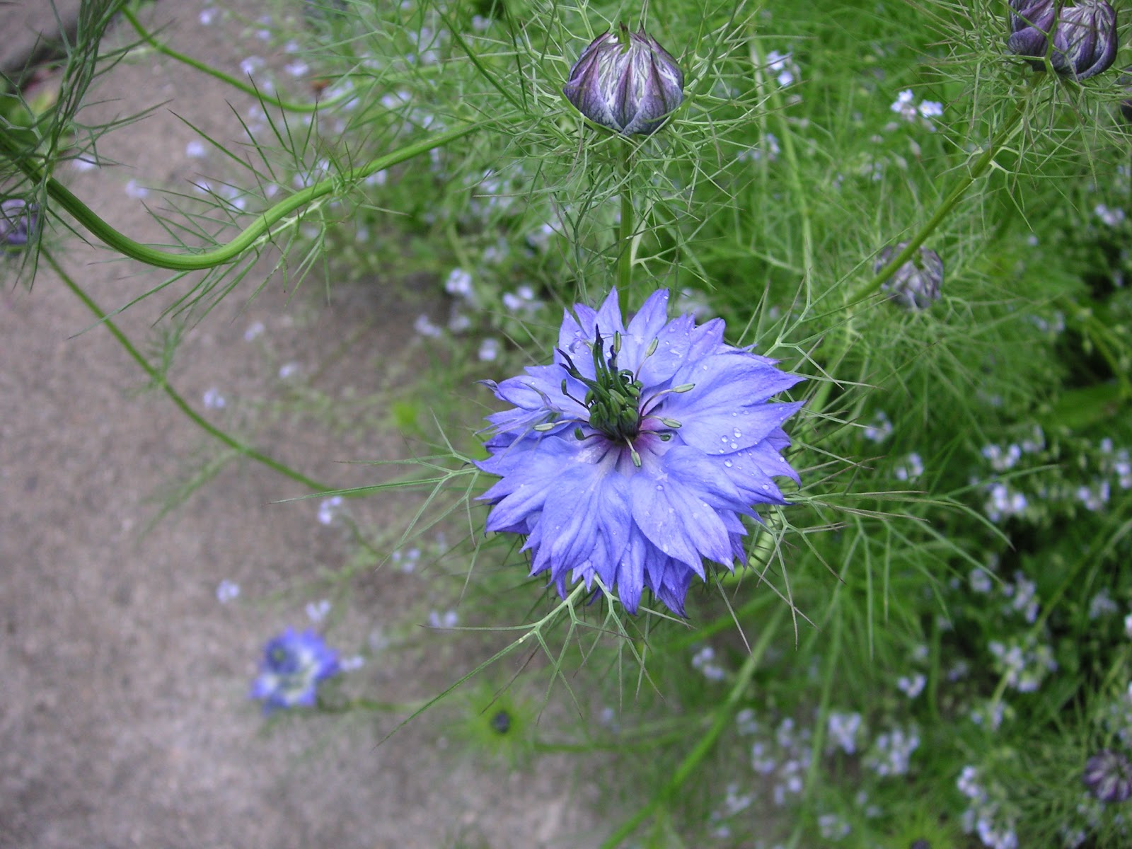 Fertilizer friday my seed babies are blooming that bloomin garden my garden is full of self sowing flowers and this is one that i love having nigella or love in a mist is a lovely blue flower that forms puffy seed pods izmirmasajfo