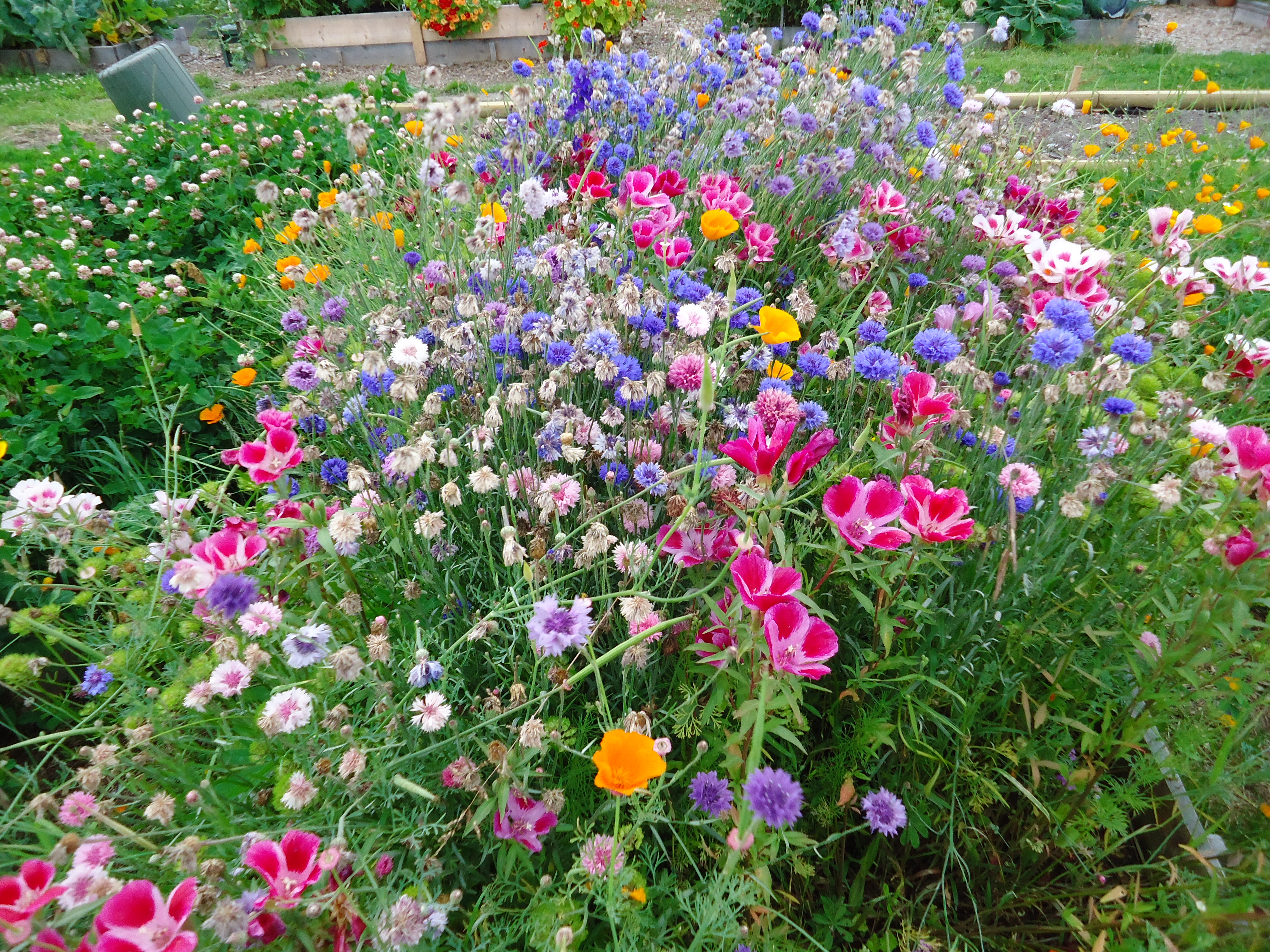 Wildflower. So Why Did I Decide To Use These Seeds? For One Thing They Are  Easy To Grow. If You Visited The Ladner Community Garden Last Year, ...