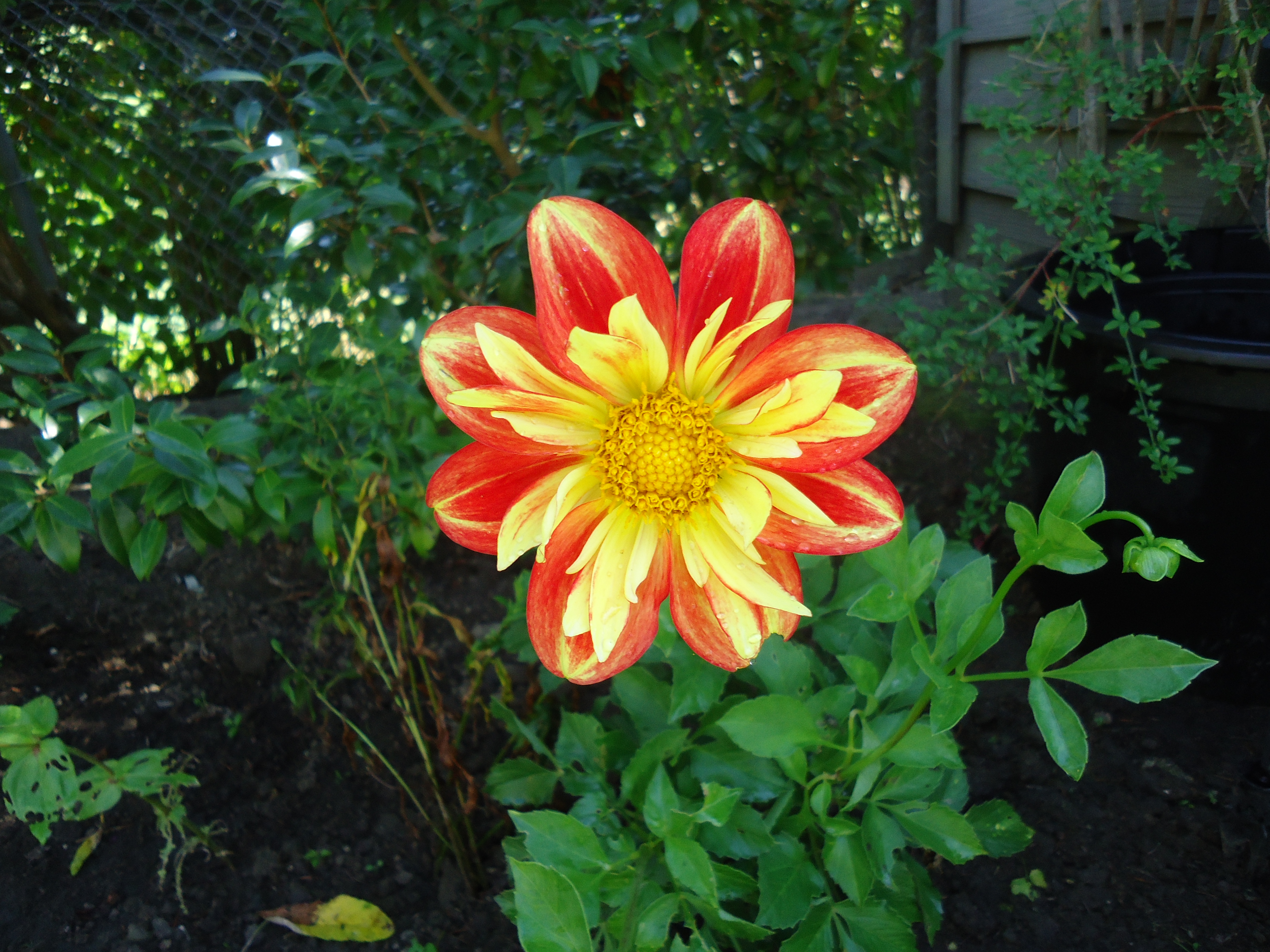 Perennial Flowers That Bloom All Summer Source I Love The Collarette Dahlias And Still Have Another New One Just About To Each