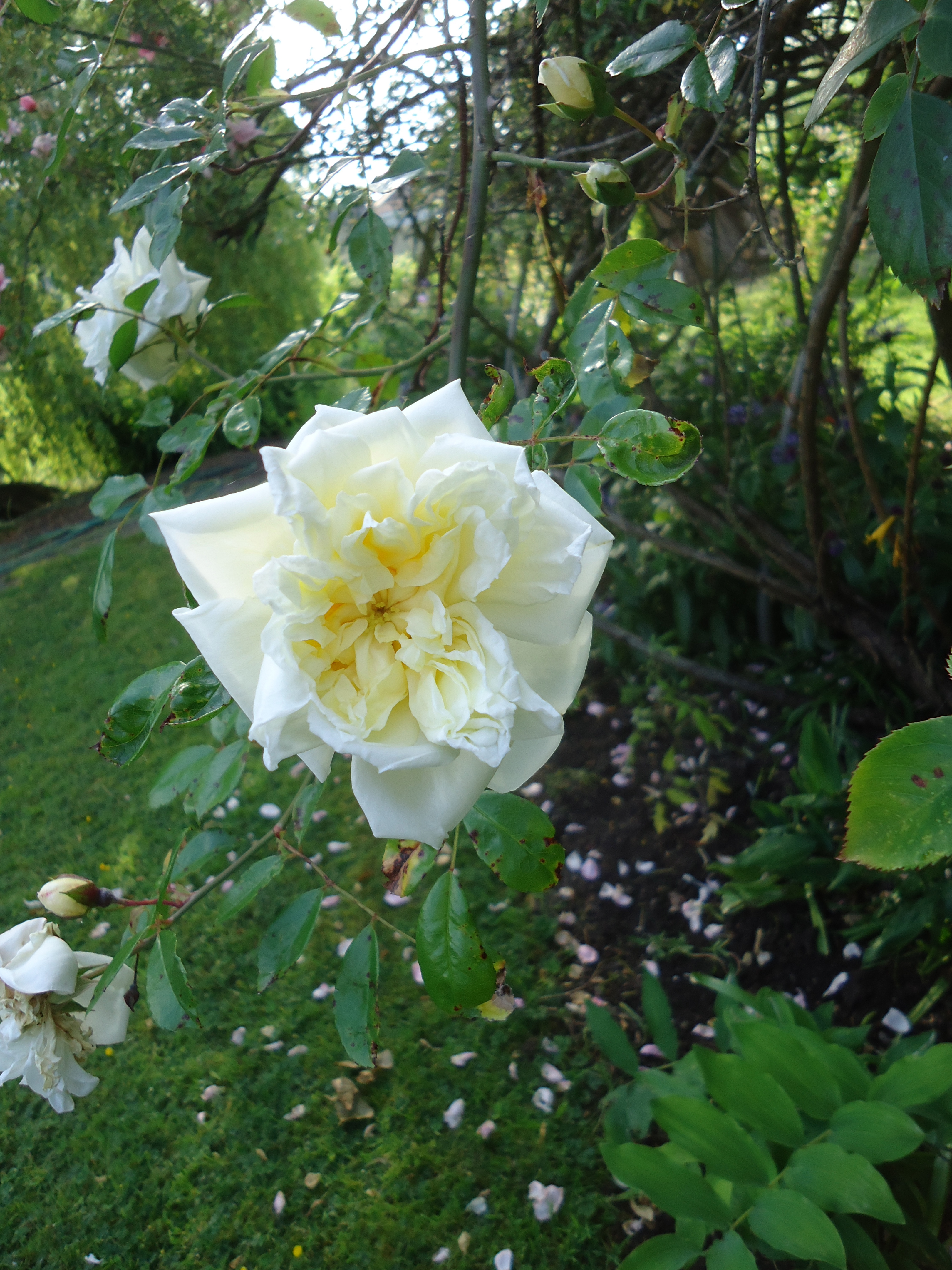Loving The Roses And Their Fragrance That Bloomin Garden