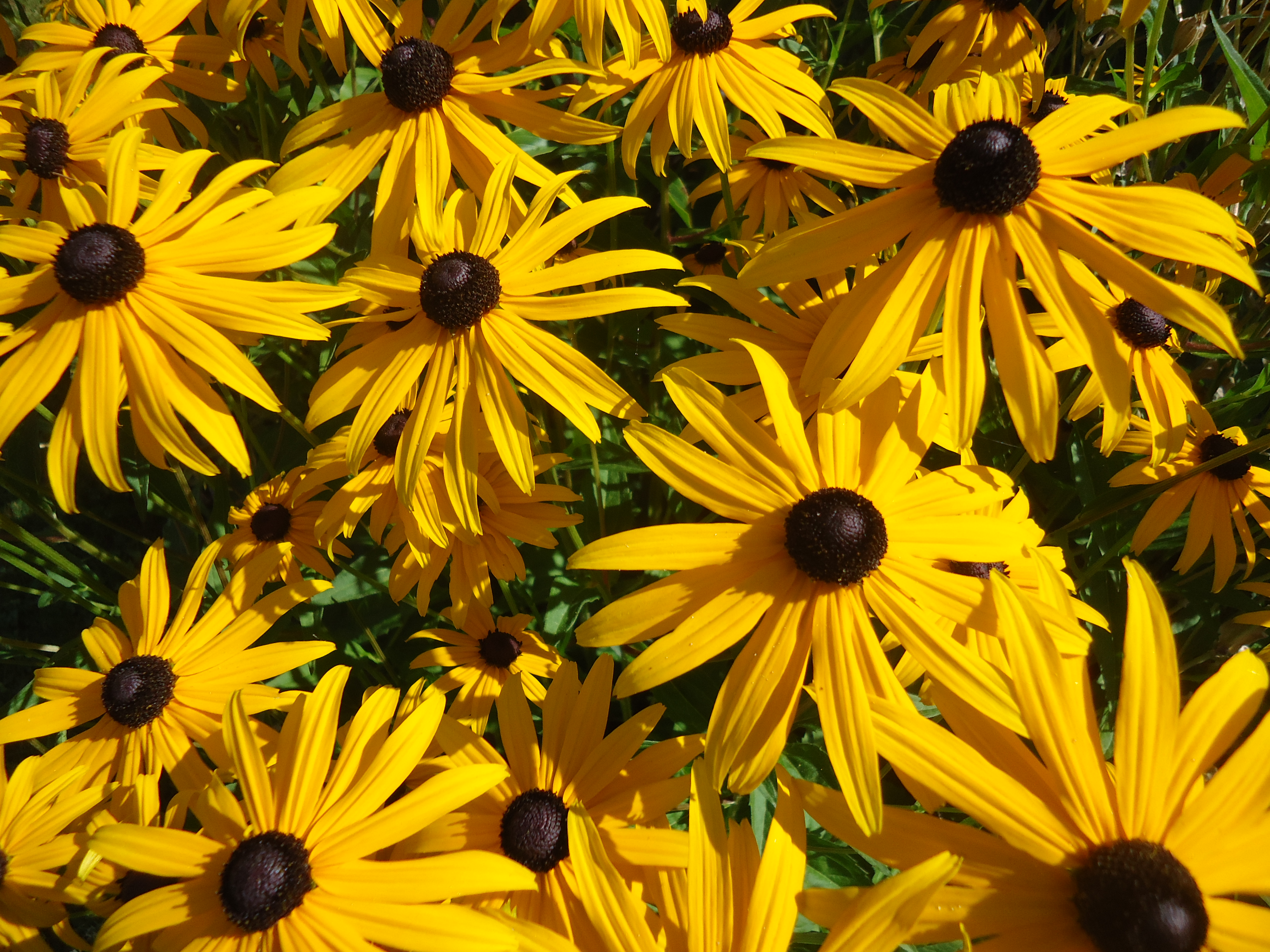 Fridays flowers fragrance colour in the garden that bloomin garden i couldnt resist another shot of the rudbeckia in the garden its a show stopper for sure i cant get enough of the bright yellow flowers i may need to mightylinksfo