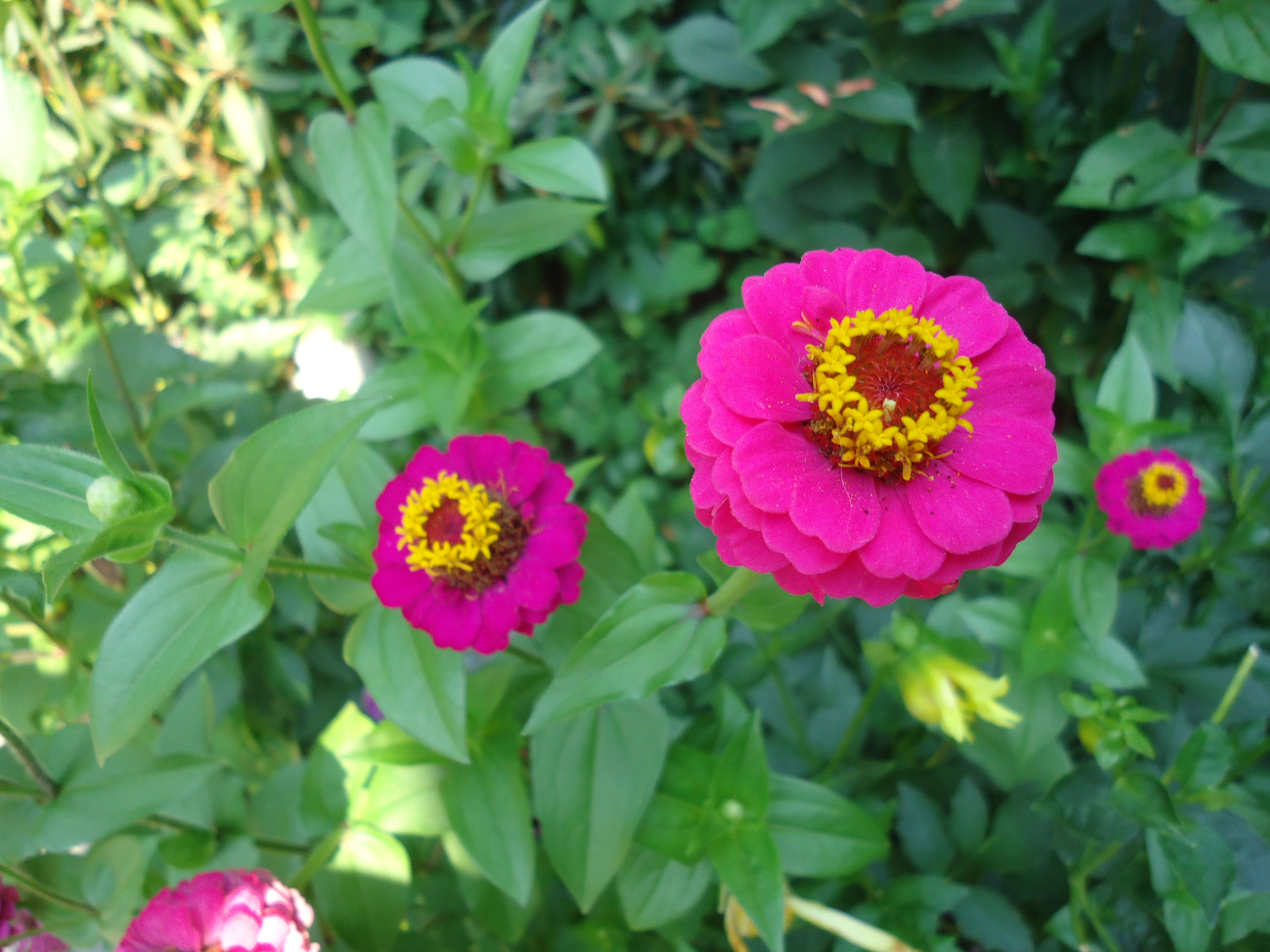 I Grew A Couple Different Types Of Zinnias This Year. I Remember Going Into  West Coast Seeds And Buying One Of Each Kind Of Zinnia Seed They Had.