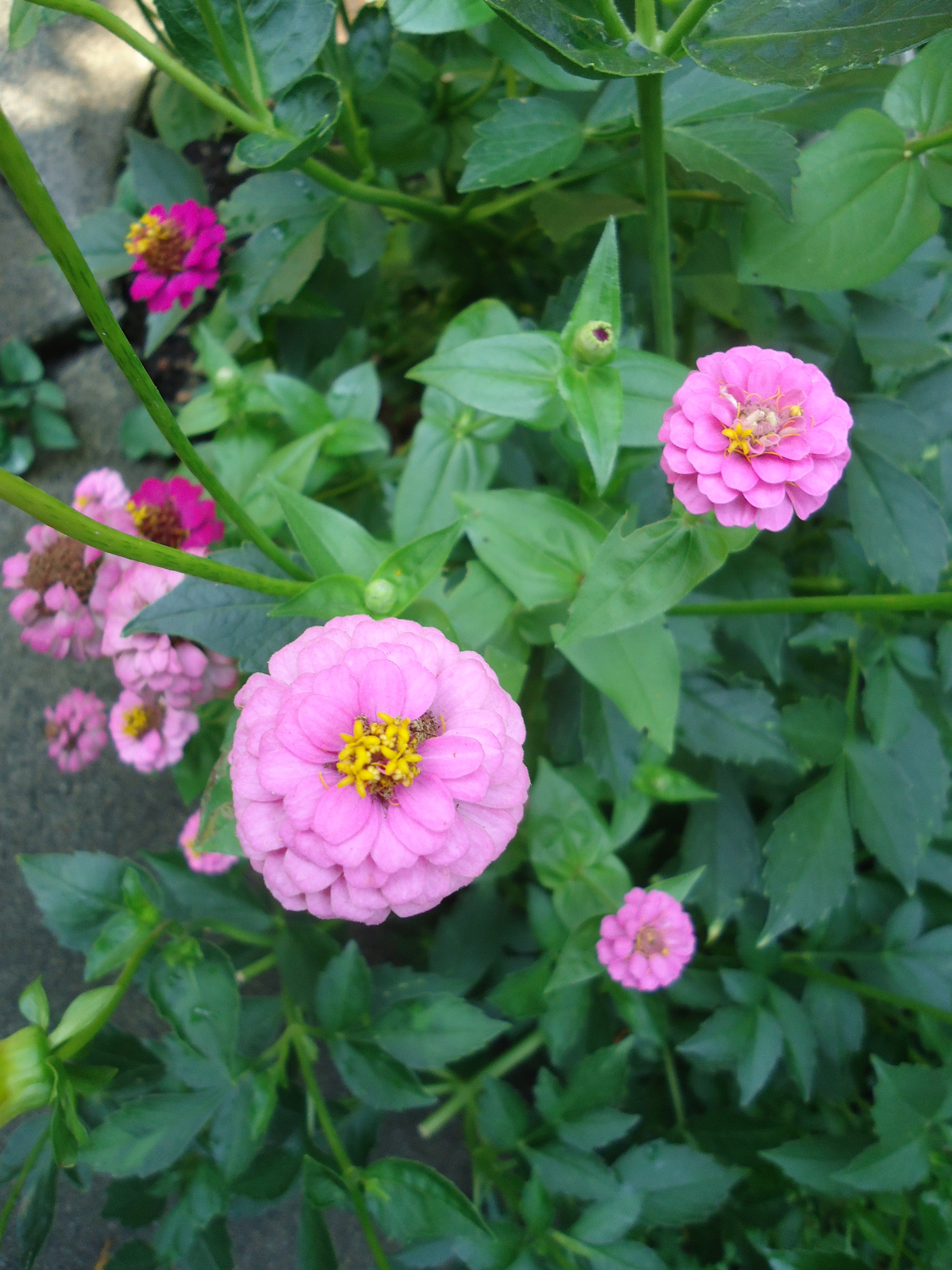 How To Collect Zinnia Seeds That Bloomin Garden