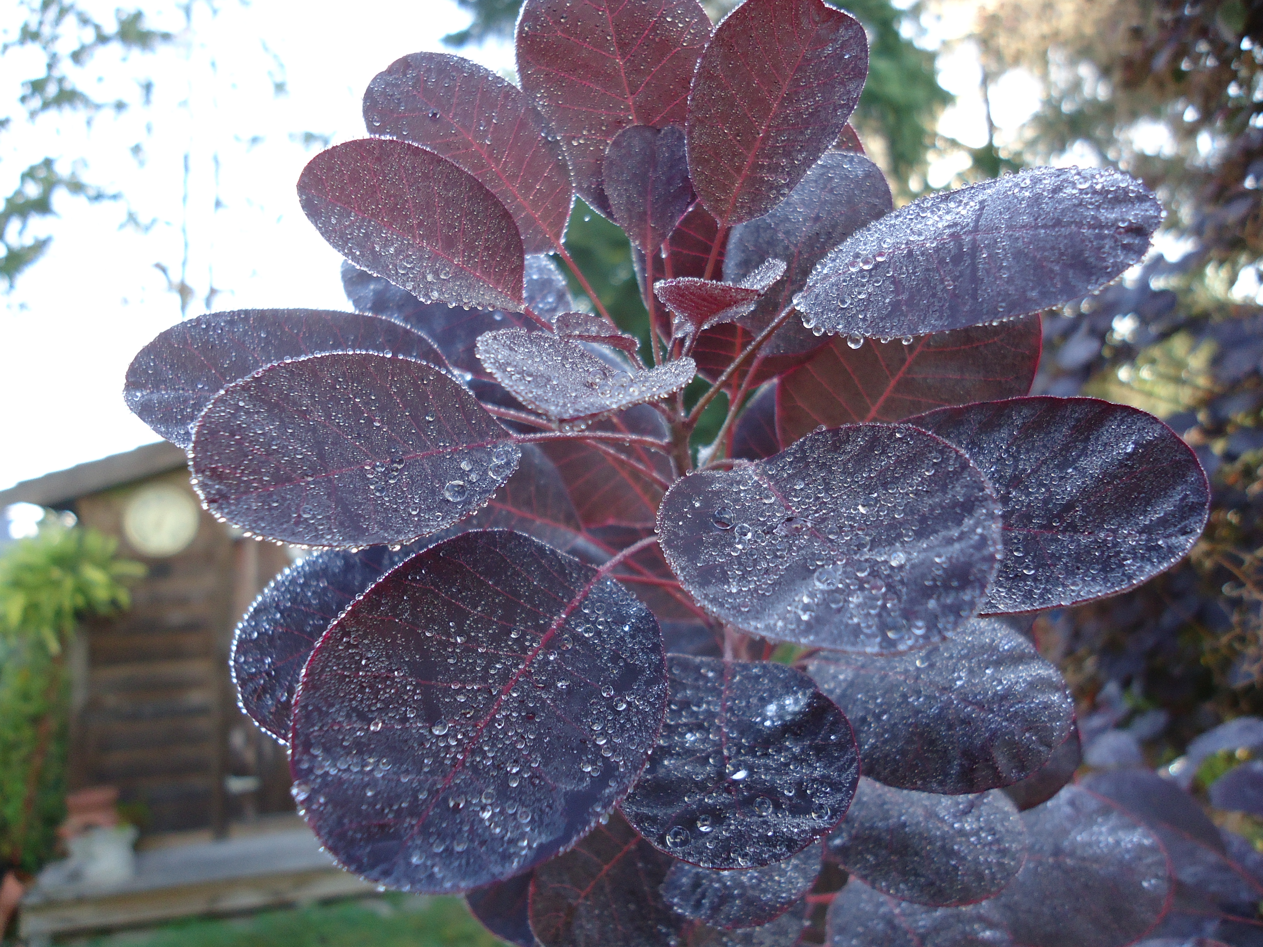 Purple leaf shrub with pink flowers - This Is Cotinus Coggygria Or Smoke Bush It S A Shrub But Can Get To Twenty Feet Unless Pruned Back A Few Feet Each Year I Love The Deep Purple Leaves On
