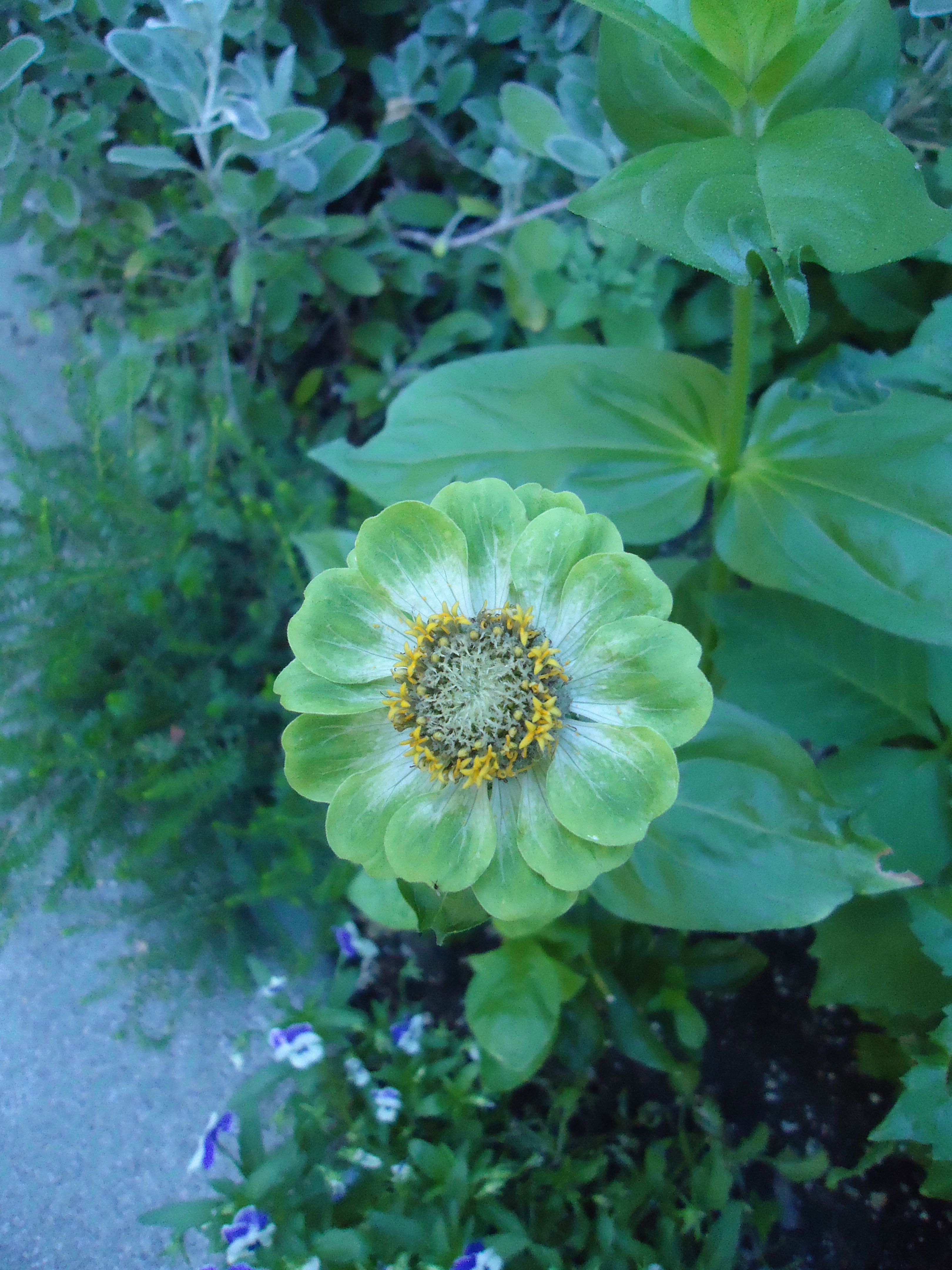 The Many Faces of Zinnia 'Green Envy' and 'Purple Prince'