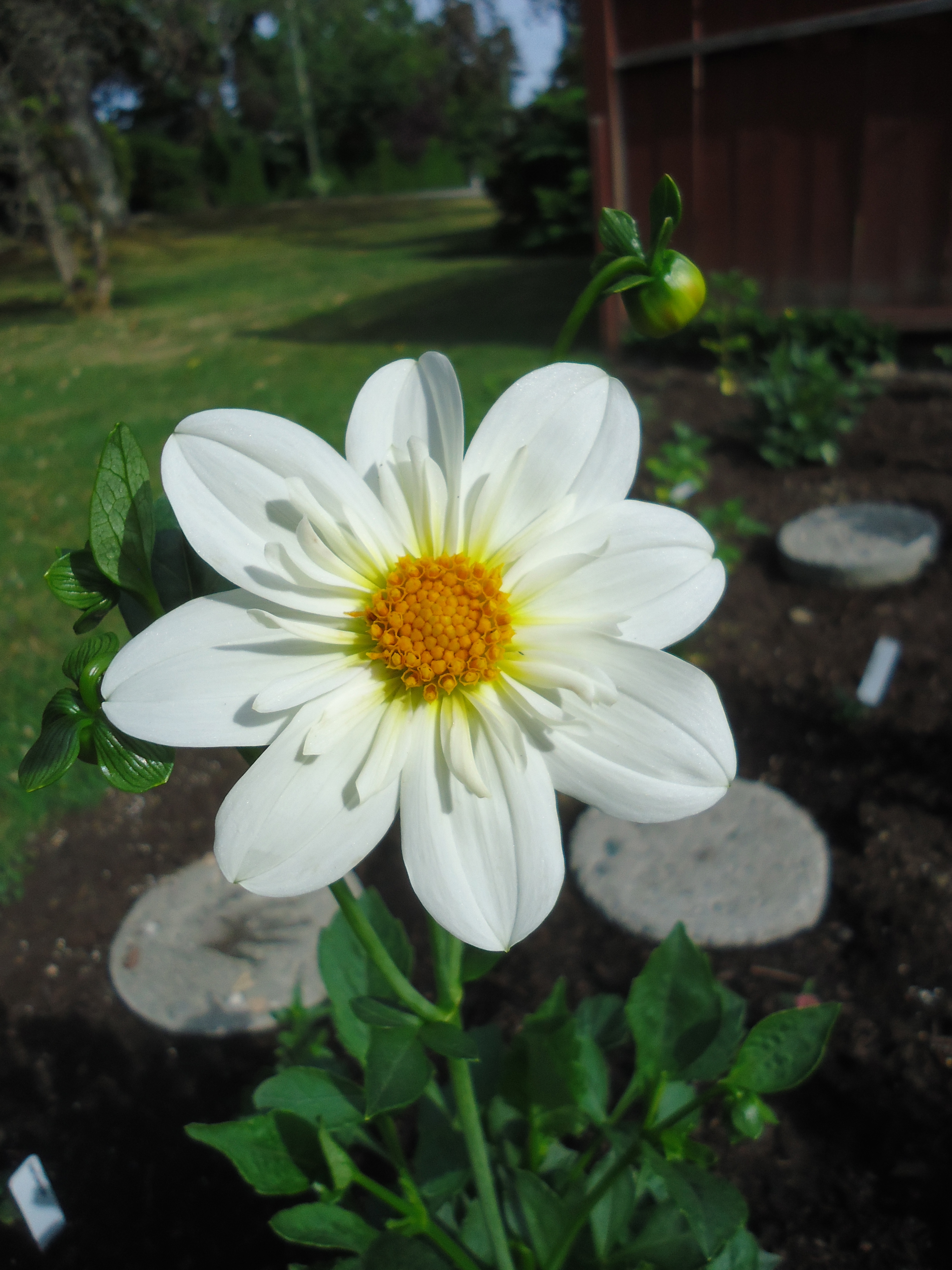 Look at my dahlias from collected seed that bloomin garden last year i was behind in deadheading my flowers its like that when you have a large property sometimes thats when surprises happen izmirmasajfo Image collections