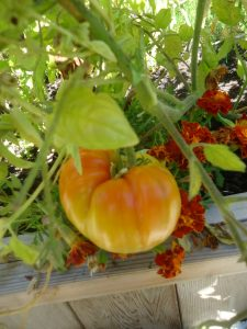 Want to Prevent Late Blight on Tomatoes?