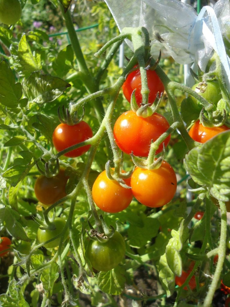 All You Need to Know About Growing Tomatoes This Spring