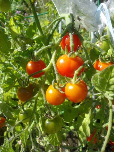 Want To Prevent Late Blight On Tomatoes That Bloomin