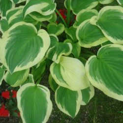 How to Save Hosta Seeds from the Garden