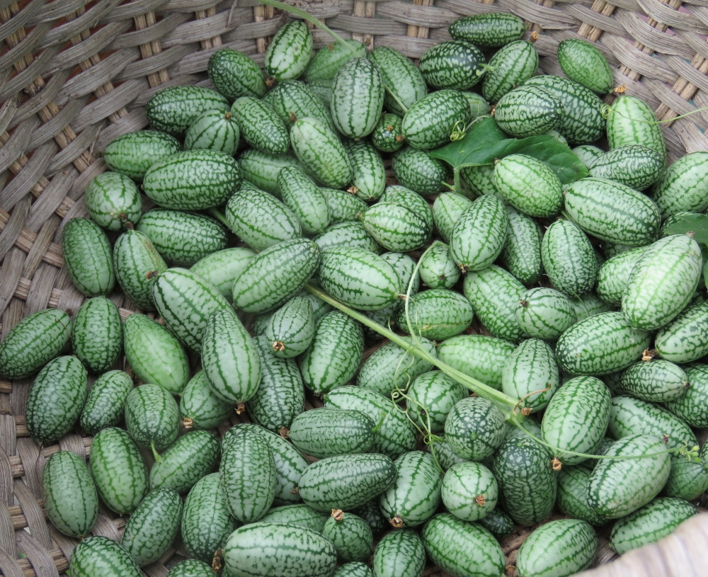 Saving Cucamelon Seed-To Ferment or Not?