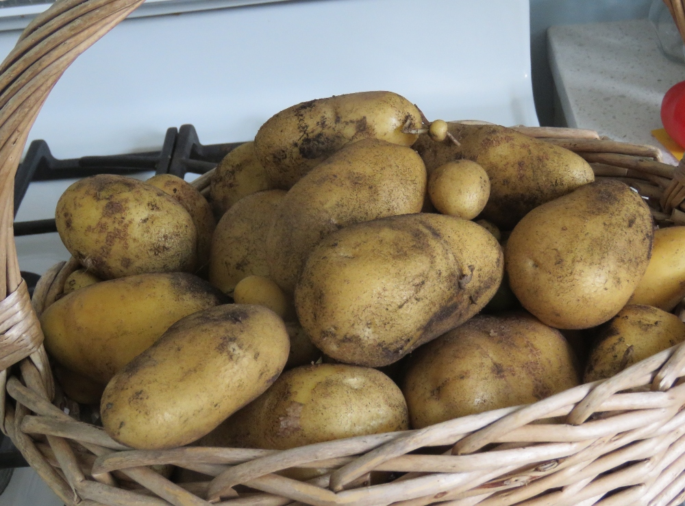 How to Grow Potatoes for the Home Gardener