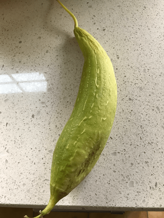 How to Grow Luffa in a Cool Climate