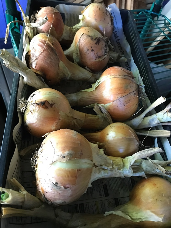 Why Did My Onions Rot?